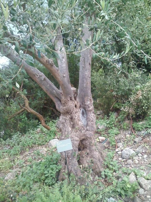 028 SW Eden Proj Olive tree