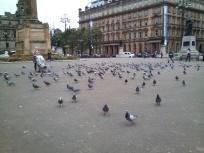 Glasgow_Pigeons